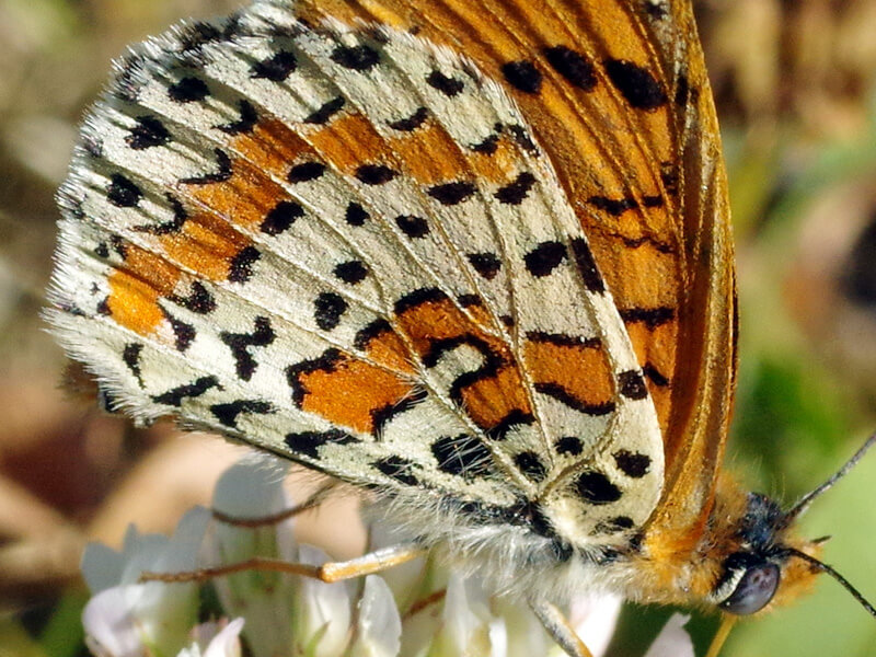 4-lepidopteres-rhopaloceres-SNK45410b