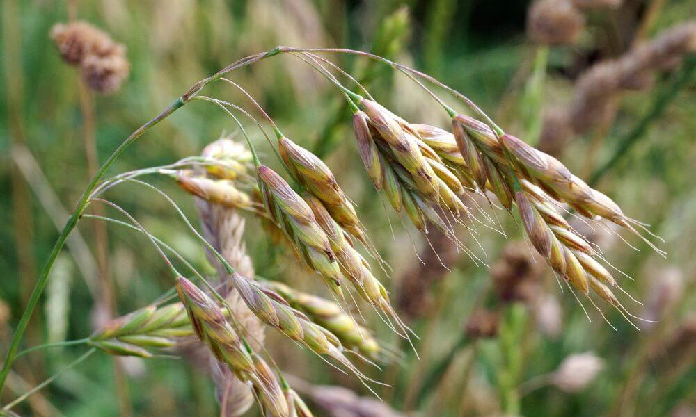 Brome variable - Bromus commutatus