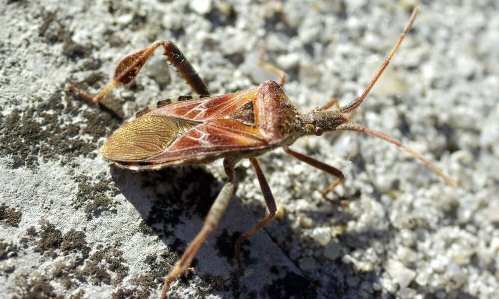 Punaise américaine - Leptoglossus occidentalis