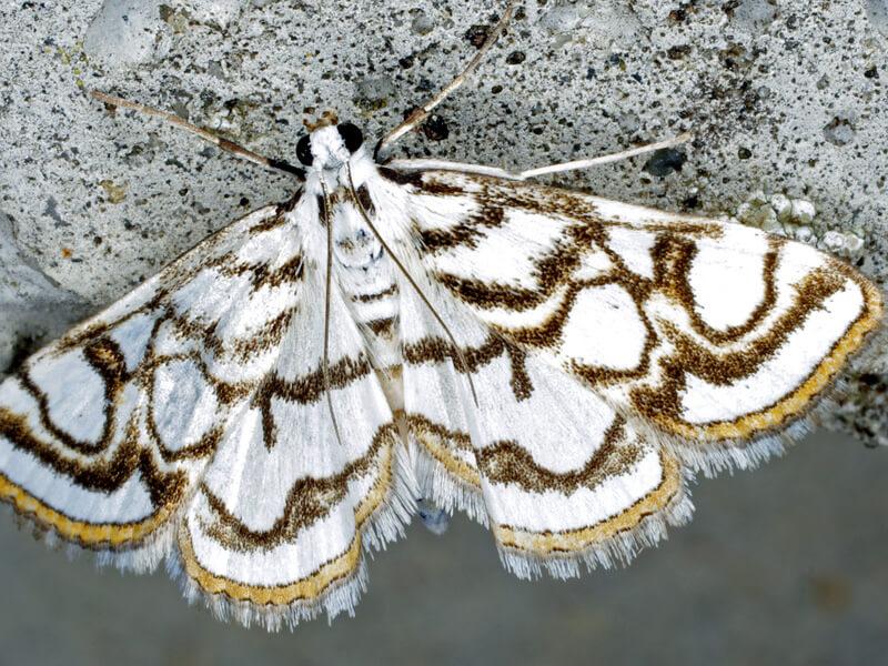 4-lepidopteres heteroceres-SNT12144b