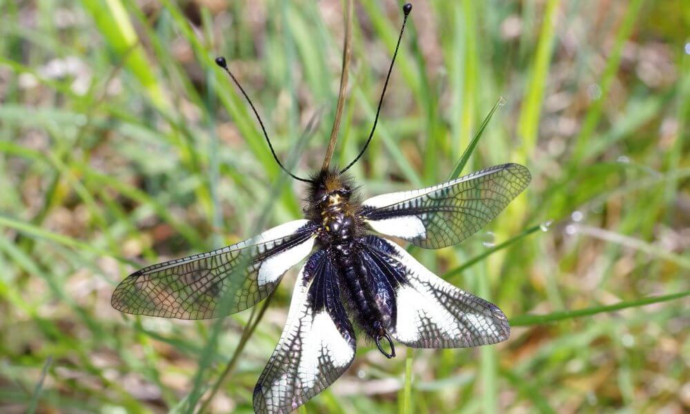 Ascalaphe souffré - Libelloides coccajus