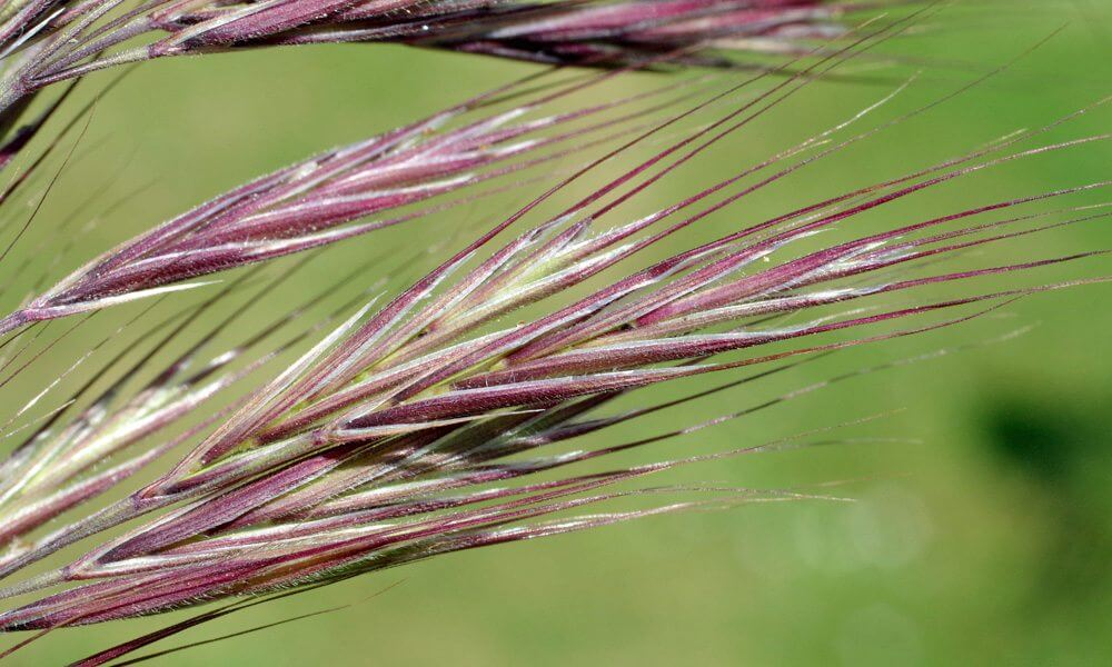 Brome de Madrid - Anisantha madritensis