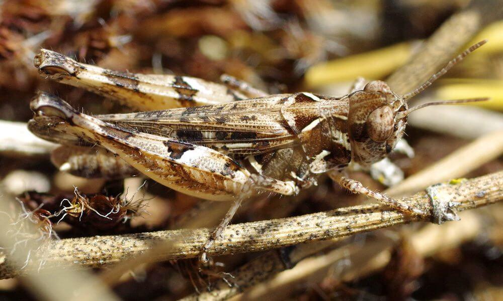 Criquet de Jago - Dociostaurus jagoi subsp. occidentalis