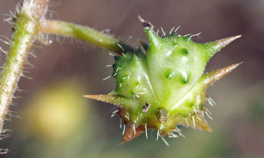 Croix de Malte - Tribulus terrestris