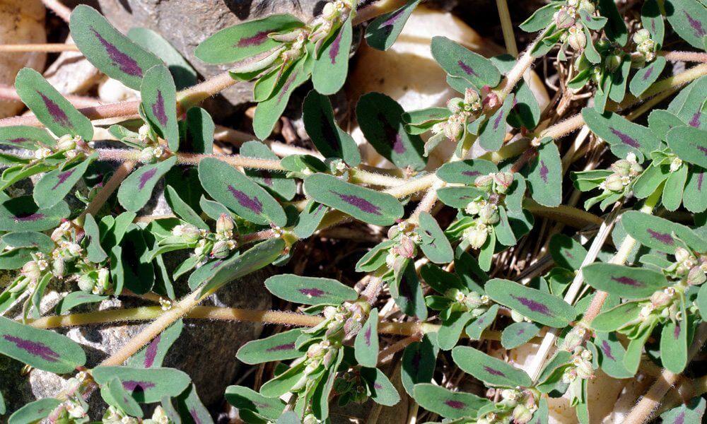 Euphorbe tachetée - Euphorbia maculata