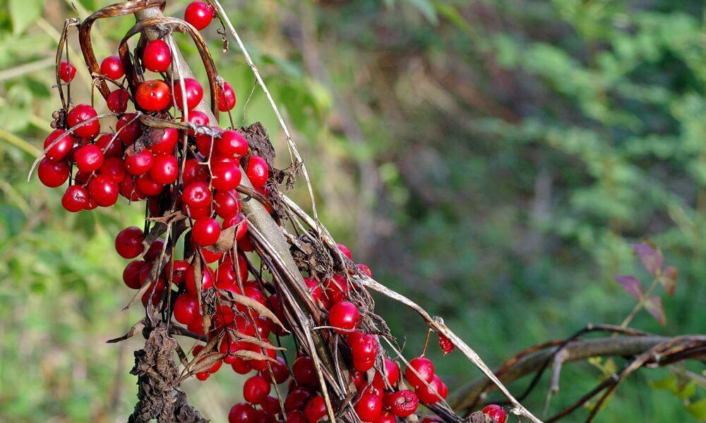 Herbe aux femmes battues - Dioscorea communis