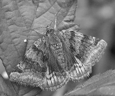 euclidia glyphica nb400