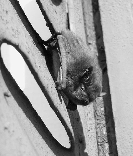 pipistrelle volet.500jpg